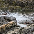 Cattle Point: Black Oystercatcher (Haematopus bachmani).- San Juan Island: Cattle Point Sea Kayaking
