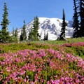 Pink mountain heather (Phyllodoce empetriformis).- Mount Rainier: Disappointment Cleaver Route
