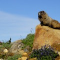 A marmot perched above its den.- Mount Rainier: Disappointment Cleaver Route