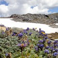A field of lupine (Lupinus perennis) in Paradise Park.- Mount Rainier: Disappointment Cleaver Route