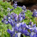 Lupine (Lupinus perennis).- Mount Rainier: Disappointment Cleaver Route