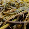 The edible kelp up close.- San Juan Island, Sea Kayaking Smallpox Bay to Deadman Bay