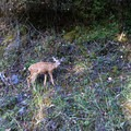 There is an abundance of deer in Moran State Park.- Orcas Island, Mount Constitution Hike