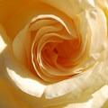 A rose in the International Rose Test Garden.- Washington Park