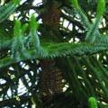 Unidentified species at Hoyt Arboretum (help us identify it by providing feedback).- Washington Park