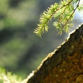 Japanese larch (Larix kaempferi) at Hoyt Arboretum.- Hoyt Arboretum