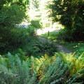 Western sword ferns (Polystichum munitum) within Hoyt Arboretum- Hoyt Arboretum