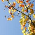 Maple in Hoyt Arboretum.- Hoyt Arboretum