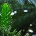 Unidentified species (help us identify it by providing feedback).- Hoyt Arboretum