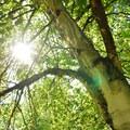 Paper birch (Betula papyrifera) at Hoyt Arboretum.- Hoyt Arboretum
