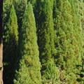 Douglas fir (Pseudotsuga menziesii) and a grove of sequoias at Hoyt Arboretum.- Hoyt Arboretum