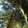 Old-growth noble fir (Abies procera).- Tolmie Peak Hike