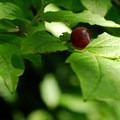 Black huckleberry (Vaccinium membranaceum).- Tolmie Peak Hike