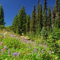 Lush wildflower meadow near Eunice Lake.- Tolmie Peak Hike