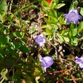 Scotch bluebell (Campanula rotundifolia).- Tolmie Peak Hike