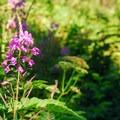 Fireweed (Chamerion angustifolium).- Spray Waterfall + Spray Park Hike