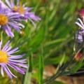 Leafybract Aster (Aster foliaceus).- Burroughs Mountain Hike