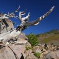 Scraggly old whitebark pine (Pinus albicaulis).- Burroughs Mountain Hike