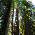 Stand of western red cedars and Douglas firs surrounding the Grove of the Patriarchs Trail.- Grove of the Patriarchs