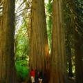 Western red cedars (Thuja plicata) on the Grove of the Patriarchs Trail.- Grove of the Patriarchs