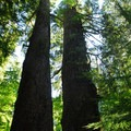 Two Douglas firs (Pseudotsuga menziesii) roughly 1,000 years old.- Grove of the Patriarchs