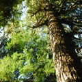 Giant Douglas fir (Pseudotsuga menziesii).- Grove of the Patriarchs