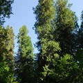 Grove of western red cedars (Thuja plicata) viewed from across the Ohanapecosh River.- Grove of the Patriarchs