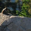 Hoary marmot (Marmota caligata) on the Skyline Trail.- Skyline Trail Hike