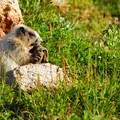 Hoary marmot (Marmota caligata) chewing on a hiker's old sock.- Skyline Trail Hike