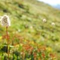 Western bistort (Polygonum bistortoides).- Skyline Trail Hike
