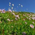 Leafybract aster (Aster foliaceus) and western bistort (Polygonum bistortoides).- Skyline Trail Hike