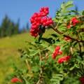Sitka mountain ash (Sorbus sitchensis).- Paradise Park, Myrtle Falls