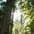 Old-growth at Cougar Rock Campground.- Cougar Rock Campground