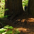 Old-growth Douglas fir (Pseudotsuga menziesii) on the Twin Firs Trail.- Twin Firs Trail
