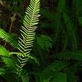 Deer fern (Blechnum spicant).- Twin Firs Trail