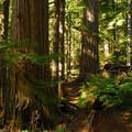 Old-growth western redcedar (Thuja plicata) and Douglas fir (Pseudotsuga menziesii) on the Twin Firs Trail.- Twin Firs Trail