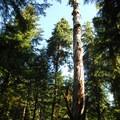 Old Douglas fir snag on the Twin Firs Trail.- Twin Firs Trail