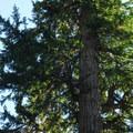 Old-growth Douglas fir (Pseudotsuga menziesii) along Paradise Road East.- Twin Firs Trail