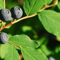 Cascade blueberry (Vaccinium deliciosum).- Gobblers Knob + Lake George Hike