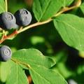 Cascade blueberry (Vaccinium deliciosum).- Gobblers Knob + Lake George Hike