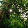 Old-growth western redcedar (Thuja plicata) in Fay Bainbridge Park.- Fay Bainbridge Park