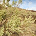 Tall sagebrush (Artemisia tridentata).- John Day River, Pinnacles Trail