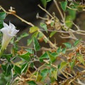 Morning glory (Calystegia).- John Day River, Pinnacles Trail