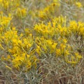 Gray rabbitbrush (Chrysothamnus nauseosus).- John Day River, Pinnacles Trail