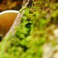 Pleurotus populinus.- Cape Horn Loop Hike