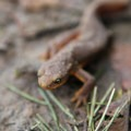 Rough-skinned newt (Taricha granulosa).- Cape Horn Loop Hike