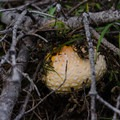 Mushrooms abound along the side of the trail.- Mount St. Helens Worm Flows Hike