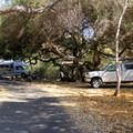 Campsites are shaded by coast live oak (Quercus agrifolia) and Western or California sycamore (Platanus racemosa).- El Capitan State Beach Campground