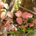 Leaves of three let it be. Western poison oak (Toxicodendron diversilobum).- El Capitan State Beach
