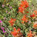 Indian paintbrush (Castilleja miniata).- Glacier Pass, Sawtooth Pass + Big Five Lakes Hiking Loop